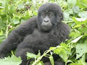 Gorillas and Southern Discoverer