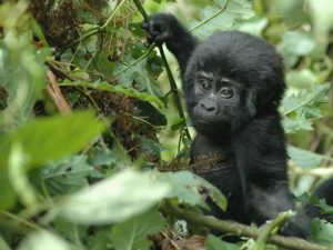 Gorilla Camping Encounter - Uganda
