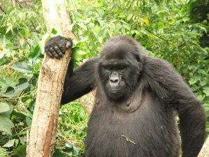 Gorillas & Game Parks and Zanzibar