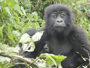Masai Mara and Gorillas Camping