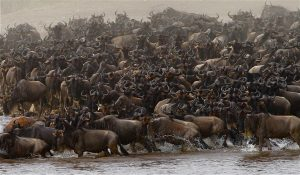 East Africa Wildebeest Migration