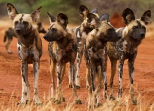 Where to see…. Wild dogs