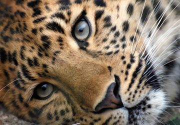 Where to see…. Leopards in Africa!!